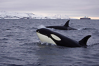 Juvenile  Killer whales surfacing, Orcinus orca, Tysfjord, Arctic Norway, North Atlantic