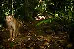 Southern Pig-tailed Macaque (Macaca nemestrina) female in lowland rainforest, Tawau Hills Park, Sabah, Borneo, Malaysia