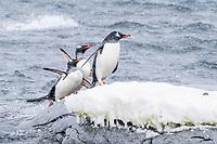 gentoo penguin, Pygoscelis papua, returning from sea at Port Lockroy, Antarctica, Southern Ocean