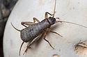 Scaly Cricket male (Pseudomogoplistes vicentae) amongst shingle. England, UK. Captive.