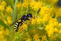 Grabwespe, Blütenbesuch an Kanadische Goldrute, Ectemnius spec., digger wasp, Sphecidae, Sphegidae, Grabwespen, digger wasps, hunting wasps