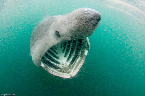 """Irish coastal waters are """"one of the few places globally"""" where basking sharks """"regularly and predictably occur on the surface close to shore"""