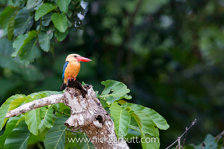 Adult stork-billed kingfisher (Halcyon capensis) hunting from branch overhanging the river. Kinabatangan River, Sabah, Borneo. September.