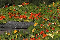 Große Kapuzinerkresse, Echte Kapuziner-Kresse, Kappuzinerkresse, Tropaeolum majus, Nasturtium, Capucine