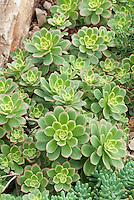 Variegated Pinwheel Plant Aeonium haworthii 'Variegatum'