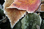 First frost on fall leaves close-up