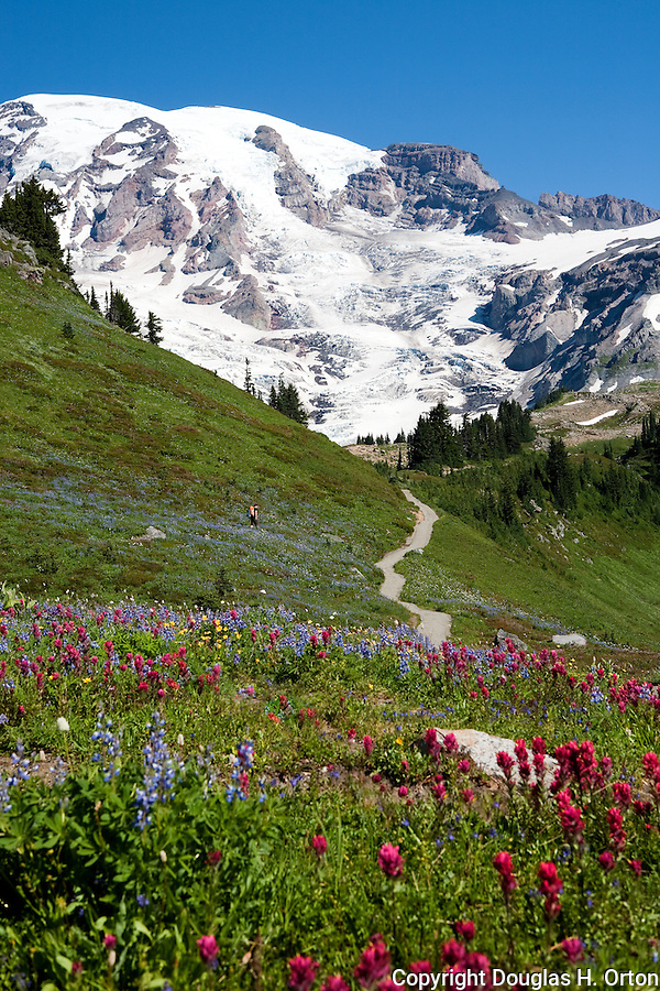 A lone hiker crosses meadows of wildflowers above the Paradise Visitor Center, Mt. Rainier National Park..Alta Vista Trail.