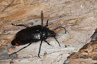Sägebock, Gerberbock, Prionus coriarius, the tanner, the sawyer, prionus longhorn beetle