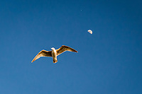 A gull flies by with the first quarter moon in the background at the San Leandro Marina Park on San Francisco Bay.