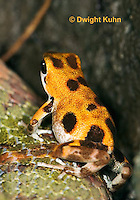 FR24-527z   Strawberry Poison Dart Frog, Dendrobates pumilio,  Orange morph - Bastimentos
