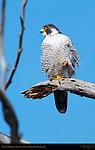 Peale's Peregrine Falcon, Bolsa Chica Wildlife Refuge, Southern California