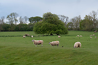 18-5-2021 Ewes and lambs in parkland <br /> ©Tim Scrivener Photographer 07850 303986<br />      ....Covering Agriculture In The UK....