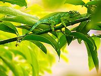 A female Jackson's chameleon on a leafy branch, Hawai'i.
