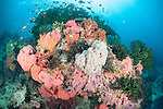 Triton Bay, West Papua, Indonesia; an aggregation of Anthias, Demoiselle and Chromis fish swimming above black sun corals, Dendronephthya sp. and Tubastraea sp. soft corals on top of a coral bommie