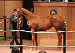 Hip 109 Line of David - Maggie's Pearle filly consigned by Belvedere Farm, sold for $25,000..November 05, 2012.