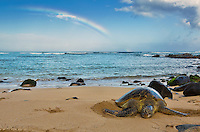 A rainbow seems to lead to a green sea turtle resting on a beach in Hawai'i.