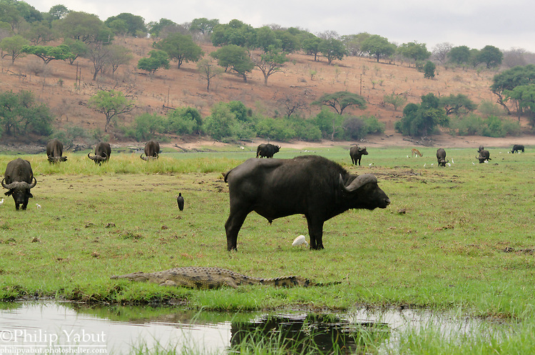 African scene: a herd of buffalo with birds and a crocodile on an island in the Chobe River.<br /> <br /> Chobe National Park, Botswana