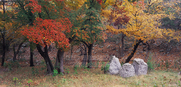 Bigtooth Maples (Acer grandidentatum) , Lost Maples State Park, Texas, USA