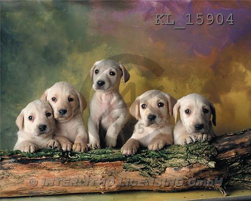 Interlitho, Alberto, ANIMALS, dogs, photos, 5 puppies(KL15904,#A#) Hunde, perros