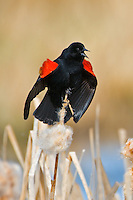 Red-winged Blackbird displaying on the top of a bullrush