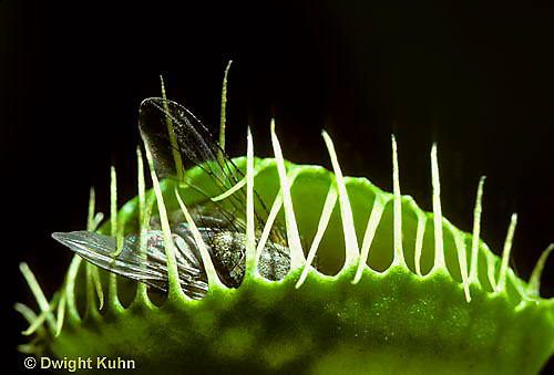 CA13-010a  Venus Fly Trap - trap closed on fly, carnivorous plant - Dioncea muscipula