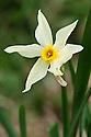 Daffodil (Narcissus tazetta subsp. ochroleucus), mid February.