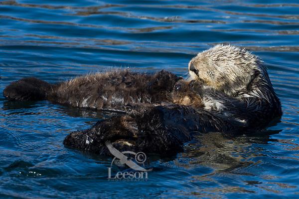 Sea Otter (Enhydra lutris) mom and pup sleeping/resting. California coast.