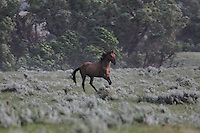 A wild horse stallion runs through the rain looking for his band lost after a bolt of lightening created a stampede to run for cover from the open field.