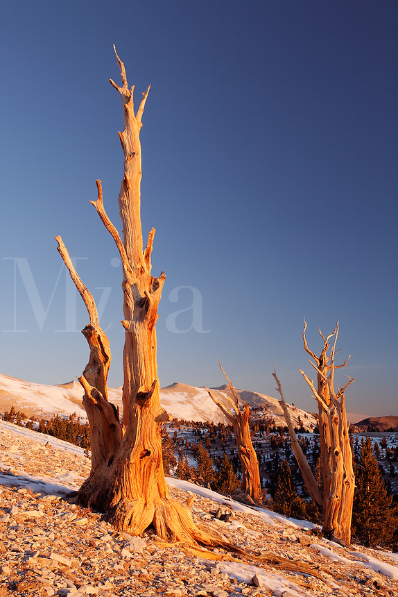 Bristlecone pines and White Mountians at sunrise, Inyo National Forest, White Mountains, California, USA