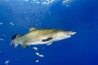 sand tiger shark, Carcharias taurus, aka grey nurse shark, spotted ragged-tooth shark, or blue-nurse sand tiger, Chichi-jima, Bonin Islands, Ogasawara Islands, Natural World Heritage Site, Tokyo, Japan, Pacific Ocean