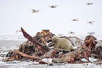 polar bear, Ursus maritimus, feeding on a bowhead whale, Balaena mysticetus, carcass on the pack ice, 1002 coastal plain of the Arctic National Wildlife Refuge, Alaska, polar bear, Ursus maritimus
