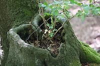 Baumherz, Herz, herzförmiges Astloch an einem Baumstamm ist mit Boden gefüllt und daraus wächst ein junger Holunder-Strauch
