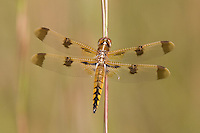 Painted Skimmer (Libellula semifasciata) Dragonfly - Male, Ward Pound Ridge Reservation, Cross River, Westchester County, New York