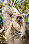 Adult golden-crowned sifaka or Tattersall's sifaka (Propithecus tattersalli) in forest near Andranotsimaty, Daraina, north east Madagascar. Critically Endangered.