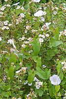 Convolvulus arvensis (Bindweed) in Potentilla fruticosa Tenuiloba