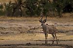 Greater Kudu (Tragelaphus strepsiceros) male, Kruger National Park, South Africa