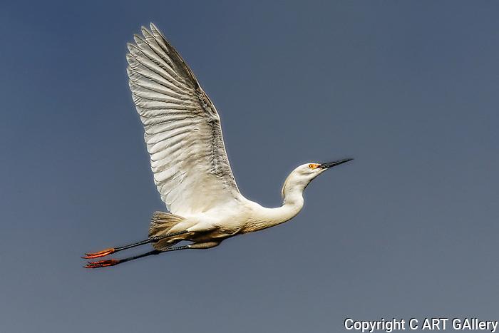 Egret flying overhead, Upper Newport Bay, CA.