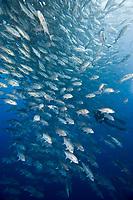 school of bigeye jackfish, Caranx sexfasciatus, Cocos Island, Costa Rica, Pacific Ocean