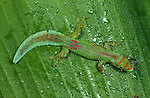 Flat-tailed Day Gecko (Phelsuma serraticauda). Sambava north east Madagascar.