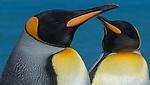 Two king penguins, South Georgia Island