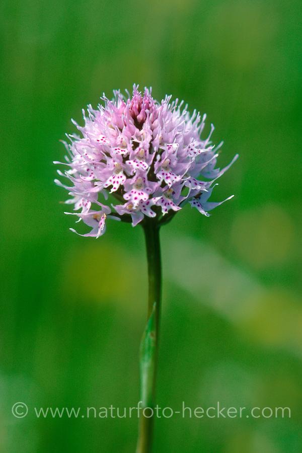 Kugelorchis, Rosa Kugelorchis, Kugelknabenkraut, Kugel-Knabenkraut, Traunsteinera globosa, Round Headed Orchid, Round-headed Orchid