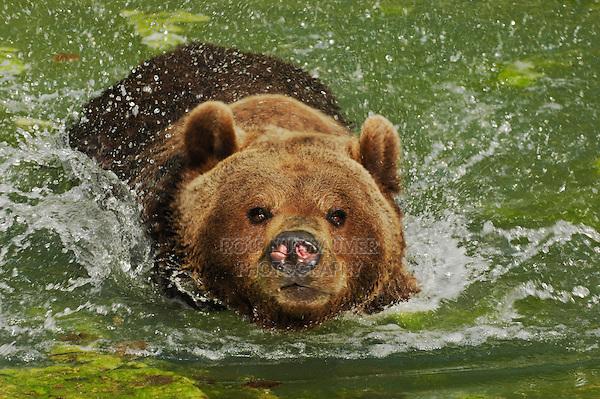 Brown Bear (Ursus arctos), adult swimming captive, Zuerich, Switzerland