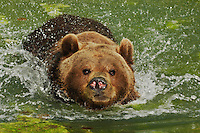 Brown Bear (Ursus arctos), adult swimming captive, Zuerich, Switzerland