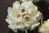 Rhododendron macabeanum AGM yellow white with red centred flowers