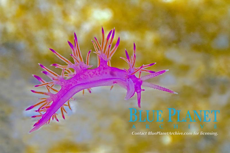 sea slug, Aegean sea, Mediterranean