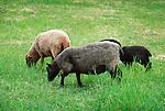 Steam Valley Fiber Farm..Border Leicester Sheep
