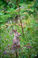 Backyard bunny.