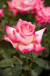 ROSA KORDES PERFECTA, HYBRID TEA ROSE