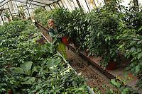 Vivaio Comunale San Sisto del Comune di Roma, dove i giardinieri coltivano fiori per le manifestazioni ufficiali. .Municipal Nursery San Sisto, in Rome, where gardeners grow flowers for official events..