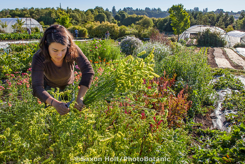 Woman farmer harvesting cut flowers; No-till flower farming, Singing Frogs Farm